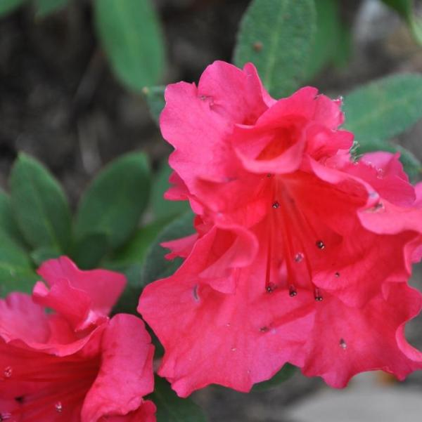 azaleas starting to bloom