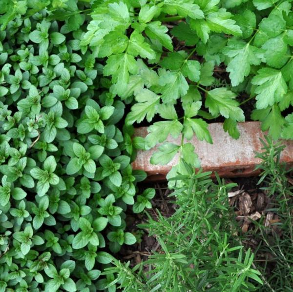 parsley, mint and rosemary in the kitchen garden