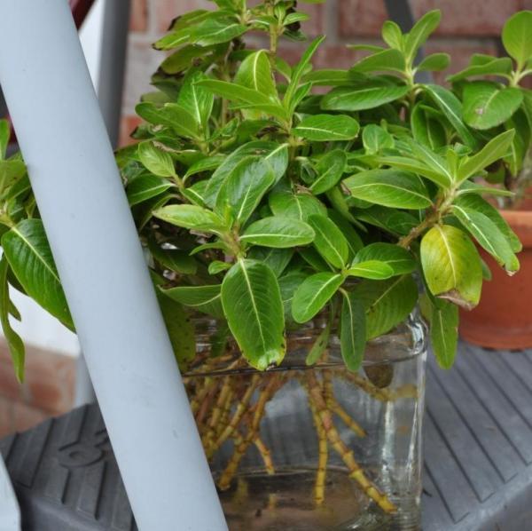 vinca cuttings from last week's pruning