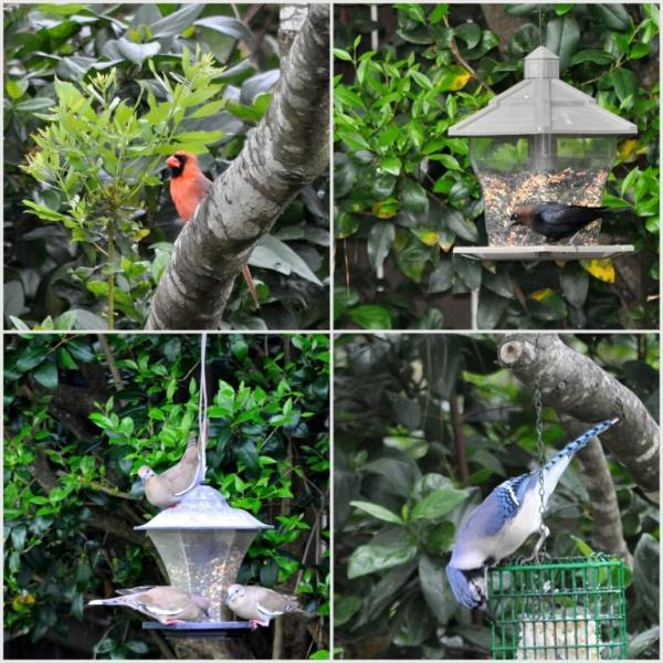 backyardbirds