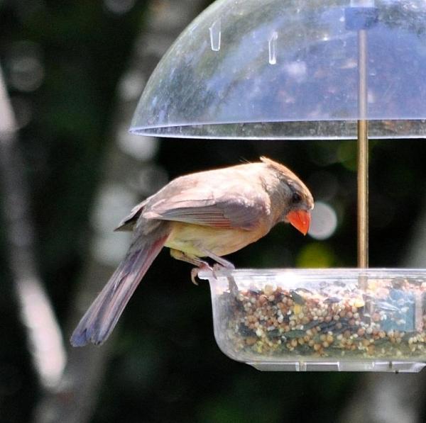 cardinal-female-001
