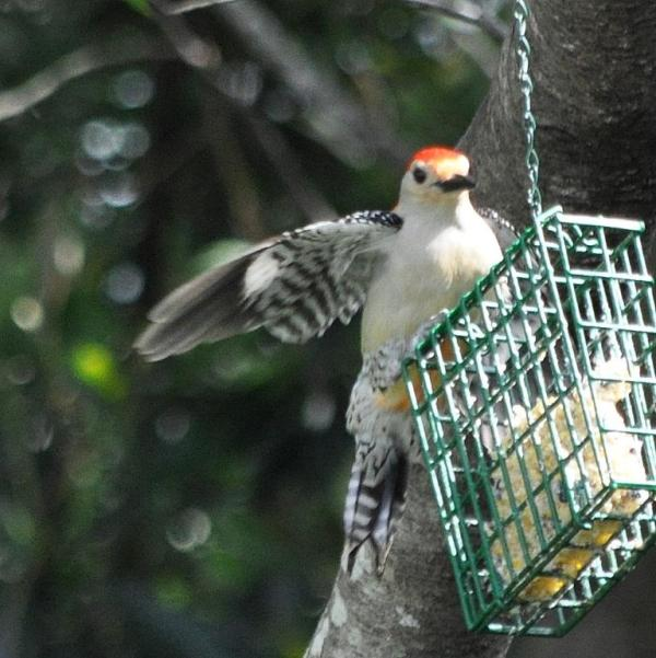 redbellywoodpecker1